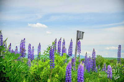 Photograph - Lupines And Bird House by Alana Ranney