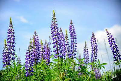 Photograph - Lupines And Blue Sky by Alana Ranney