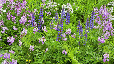 Photograph - Lupines And Dames Rocket by Alan L Graham