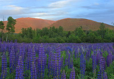Photograph - Lupines And The Northern Presidential Range by John Burk