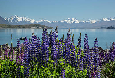 Lupines At Lake Tekapo Art Print