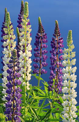 Photograph - Lupines At Pond Edge by John Burk