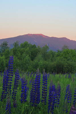 Photograph - Lupines At Sunset In The White Mountains by John Burk