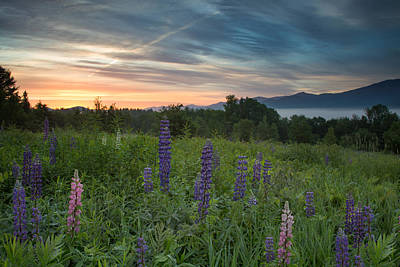 Photograph - Lupines Beneath The Rising Sun by Darylann Leonard Photography