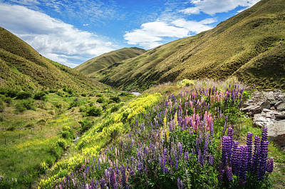 Photograph - Lupines Fields On The Side Of The Road In New Zealand by Daniela Constantinescu
