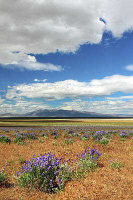 Photograph - Lupines In Honey Lake Valley by James Eddy