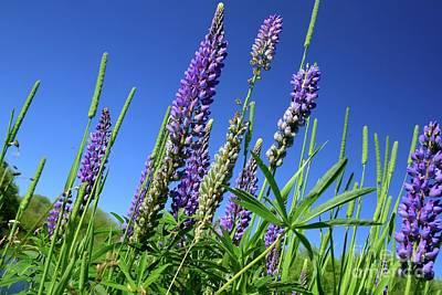 Photograph - Lupines by Johanne Peale