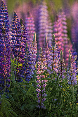 Photograph - Lupines Sidelit By First Sunlight by Marty Saccone