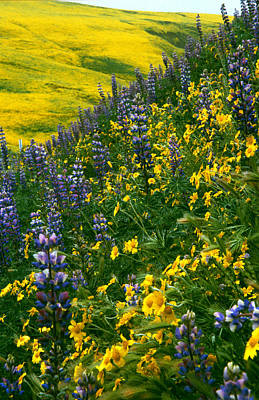 Photograph - Lupins And Daisys by Gary Brandes