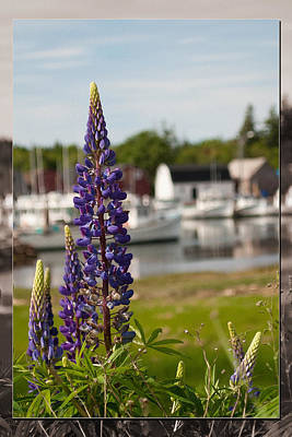 Photograph - Lupins At Malpeque Harbour by WB Johnston