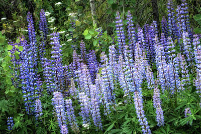 Photograph - Lupins In Blue And Purple by Belinda Greb