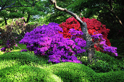 Photograph - Luscious Bloom Of Rhododendrons In Japanese Garden. Prague  by Jenny Rainbow