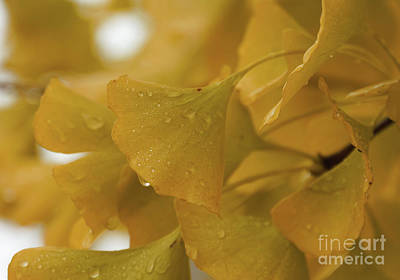 Photograph - Luscious Ginkgo Gold by Rachel Cohen