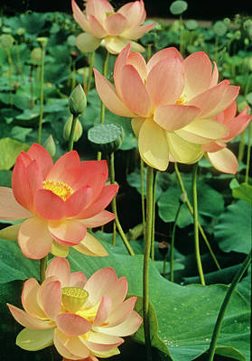Luscious Lotus Art Print