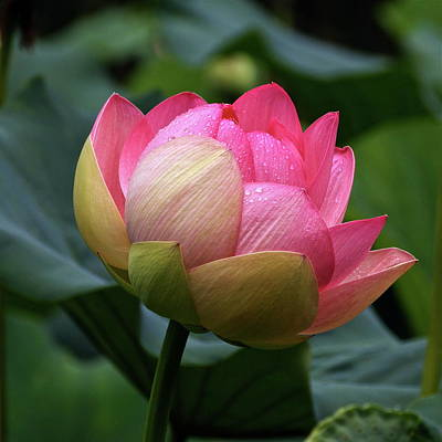 Photograph - Luscious Lotus With Raindrops by Byron Varvarigos