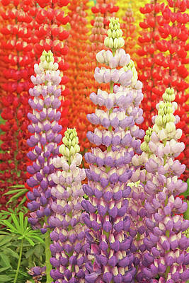 Photograph - Luscious Lupins by Gill Billington