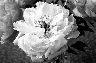 Photograph - Luscious Peony In Black And White  by Nareeta Martin