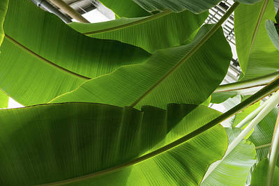 Photograph - Luscious Tropical Greens - Huge Leaves Patterns - Horizontal View Upwards Left by Georgia Mizuleva