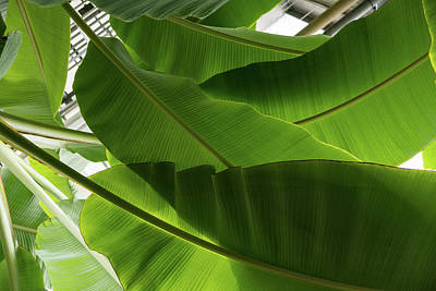 Photograph - Luscious Tropical Greens - Huge Leaves Patterns - Horizontal View Upwards Right by Georgia Mizuleva