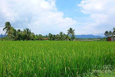 Photograph - Lush And Green Rice Field With Palm Trees by Yali Shi
