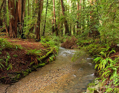 Lush Redwood Forest Art Print