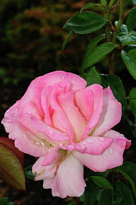 Photograph - Lustrous Pink Rose by Tikvah's Hope