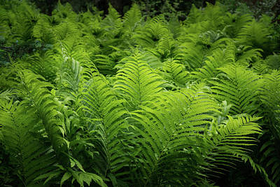 Photograph - Luxuriant Ferns In More Than Fifty Shades Of Green by Georgia Mizuleva