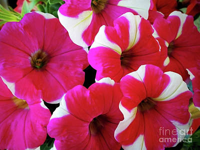Photograph - Luxuriant Petunia by Jasna Dragun