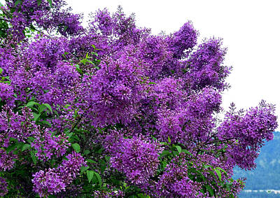 Photograph - Luxurious Lilacs by Will Borden