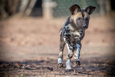 Photograph - Lycaon Pictus- Pup by Darren Wilkes