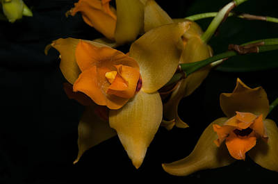 Digital Art - Lycaste Cruenta by Carol Ailles