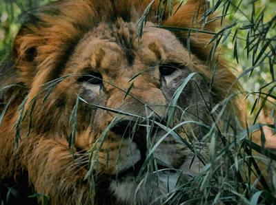 Male Lion Digital Art - Lying In Wait by Ernie Echols