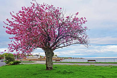 Photograph - Lynn Shore Drive Spring Cherry Blossoms Lynn Ma Bench by Toby McGuire
