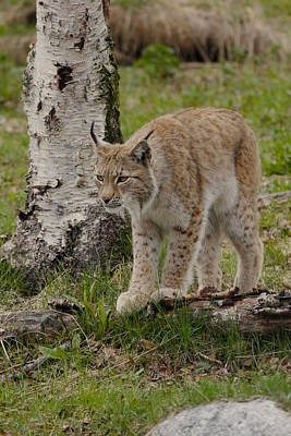 Painting - Lynx 1 Arctic Norway by Robert SORENSEN