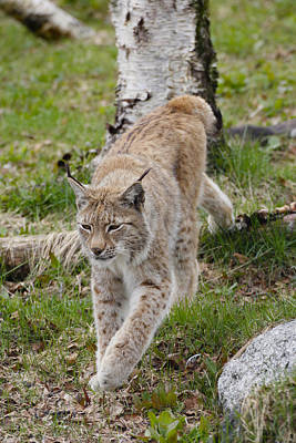 Painting - Lynx 3 Arctic Norway by Robert SORENSEN