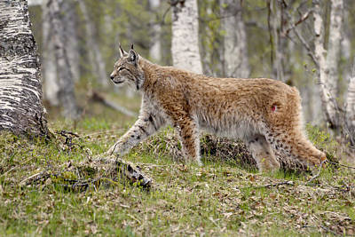 Painting - Lynx 4 Arctic Norway by Robert SORENSEN