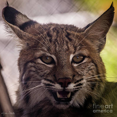 Photograph - Lynx At Shambala by Julian Starks