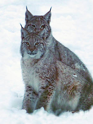 Photograph - Lynx Twins by Phil Banks