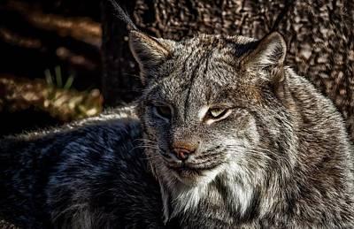 Lynx Face Eyes 85925 1920x1244 Art Print