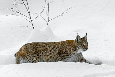 Photograph - Lynx Hunting In The Snow by Arterra Picture Library