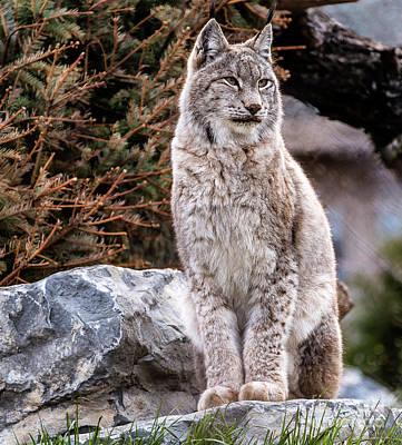 Photograph - Lynx In Wait by Joann Long