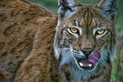Photograph - Lynx Licks Lips by Chris Lord