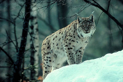 Cats Digital Art - Lynx by Maye Loeser