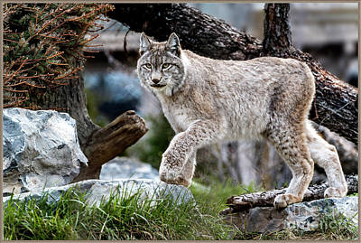 Photograph - Lynx On The Prowl by Joann Long