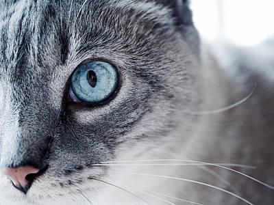 Gray Tabby Photograph - Lynx Point Kitty by Rachel Morrison