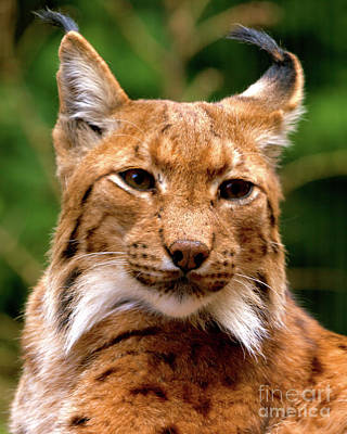 Photograph - Lynx Portrait by Baggieoldboy
