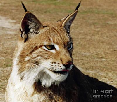 Photograph - Lynx Portrait  by D Hackett