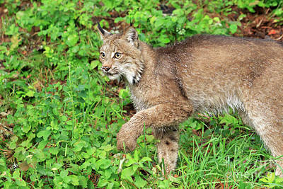 Canadian Lynx Photograph - Lynx Prowling Through The Grass by Louise Heusinkveld