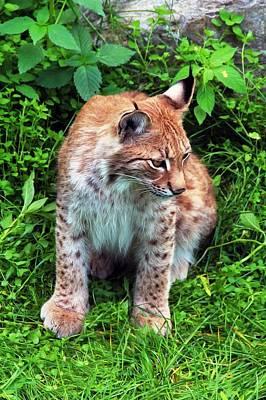 Lynx Original by Sergey Lukashin