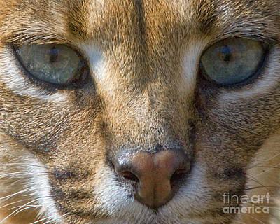 Lynx  Art Print by White Stork Gallery